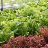 ซื้อ เมล็ดผักสลัด 5 ชนิดยอดนิยม H2Ohydrogarden ออนไลน์