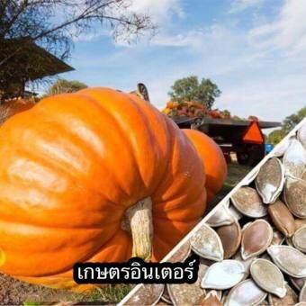 เมล็ดฟักทองยักษ์ Atlantic Giant Pumpkin เมล็ดพันธุ์คุณภาพ นำเข้า 5 เมล็ด