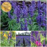 ซื้อ เมล็ดพืช Seeds เมล็ดดอก ซัลเวีย บลู เมล็ดพันธุ์ คุณภาพ 100 150 เมล็ด Seeds ออนไลน์