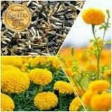 ราคา เมล็ดพืช Seeds เมล็ดดอก ดาวเรือง เมล็ดพันธุ์ คุณภาพ 150 200 เมล็ด ออนไลน์