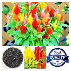 ราคา เมล็ดพืช Seeds ดอกสร้อยไก่ Celosia Plumosa เมล็ดพันธุ์ดอกไม้ คุณภาพ 1 กรัม 100 เมล็ด ใหม่