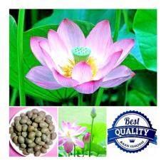 ซื้อ เมล็ดพืช Seeds ดอกบัวหลวง Lotus Flower เมล็ดพันธุ์คุณภาพ 8 เมล็ด ถูก ใน Thailand