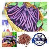 ซื้อ เมล็ดพืช Seeds ถั่วพุ่มม่วง Purple Bush Bean เมล็ดพันธุ์คุณภาพ 70 เมล็ด Seeds ออนไลน์