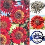 ทบทวน ที่สุด เมล็ดพืช Seeds ดอกทานตะวัน สีแดง Red Sunflower เมล็ดพันธุ์ดอกไม้ คุณภาพ 30 เมล็ด