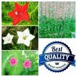 ส่วนลด สินค้า เมล็ดพืช Seeds ดอกดาวนายร้อย หรือ คอนสวรรค์ Star Glory เมล็ดพันธุ์ดอกไม้ คุณภาพ 3 สี แดง ชมพู ขาว สีละ 10 เมล็ด