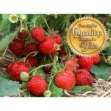 โปรโมชั่น เมล็ดพืช Seeds เมล็ดต้น Strawberry เมล็ดพันธุ์ เมล็ด ปลูกง่าย คุณภาพ 500 600 เมล็ด Seeds ใหม่ล่าสุด
