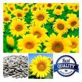 ราคา เมล็ดพืช Seeds ดอกทานตะวัน สีเหลือง Sunflower เมล็ดพันธุ์ดอกไม้ คุณภาพ 30 เมล็ด เป็นต้นฉบับ