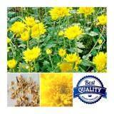 ส่วนลด เมล็ดพืช Seeds ดอกเบญจมาศ สีเหลือง Yellow Chrysanthemum เมล็ดพันธุ์ดอกไม้ คุณภาพ 40 เมล็ด