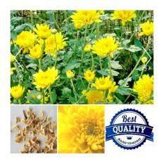 ขาย เมล็ดพืช Seeds ดอกเบญจมาศ สีเหลือง Yellow Chrysanthemum เมล็ดพันธุ์ดอกไม้ คุณภาพ 40 เมล็ด Seeds ผู้ค้าส่ง