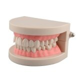 ราคา Hot Dental Life Size Teeth Model For Teaching Children Kids Oral Hygiene Intl ราคาถูกที่สุด