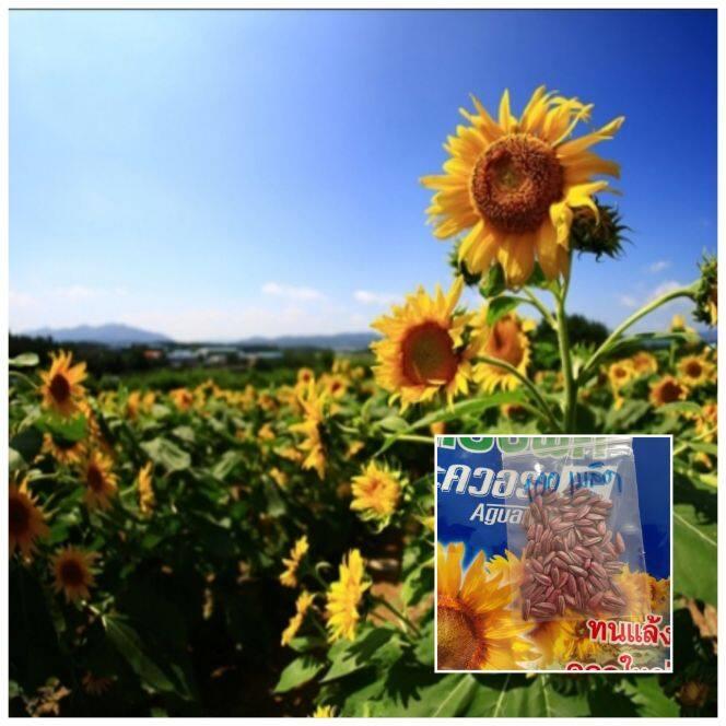 ขายถูก เมล็ดพันธุ์ทานตะวัน แมมมอธ (120เมล็ด) ปลูกโชว์สวยงาม ทนแล้ง ดอกใหญ่ โตเร็.