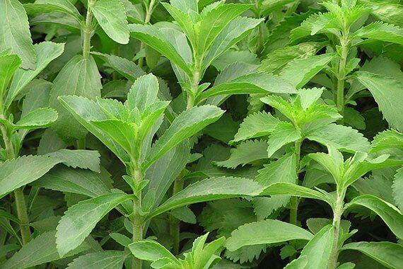 ต้นหญ้าหวาน พร้อมปลูก (Stevia) ใช้ทำชา สมุนไพรหญ้าหวาน ให้ความหวานแทนน้ำตาล  ถุงละ39บาท
