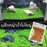 ขาย เมล็ดหญ้าน้ำ สำหรับปลูกตกแต่งตู้ปลา ตู้ไม้น้ำ Water Grass Mini Leaf ใบใหญ่ เป็นต้นฉบับ