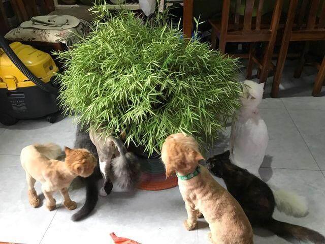 ต้นไผ่เงิน หรือ หญ้าแมว ไผ่แมว ทาสแมว ห้ามพลาด ของโปรดน้อง ประโยชน์ชั้นดีของแมว จัดส่งพร้อมกระถาง 11 นิ้ว ลำต้นสูง 30ซม ต้นไม้แข็งแรงทุกต้น เรารับประกันจัดส่งห่ออย่างดี จัดส่งสินค้าตามรูป.