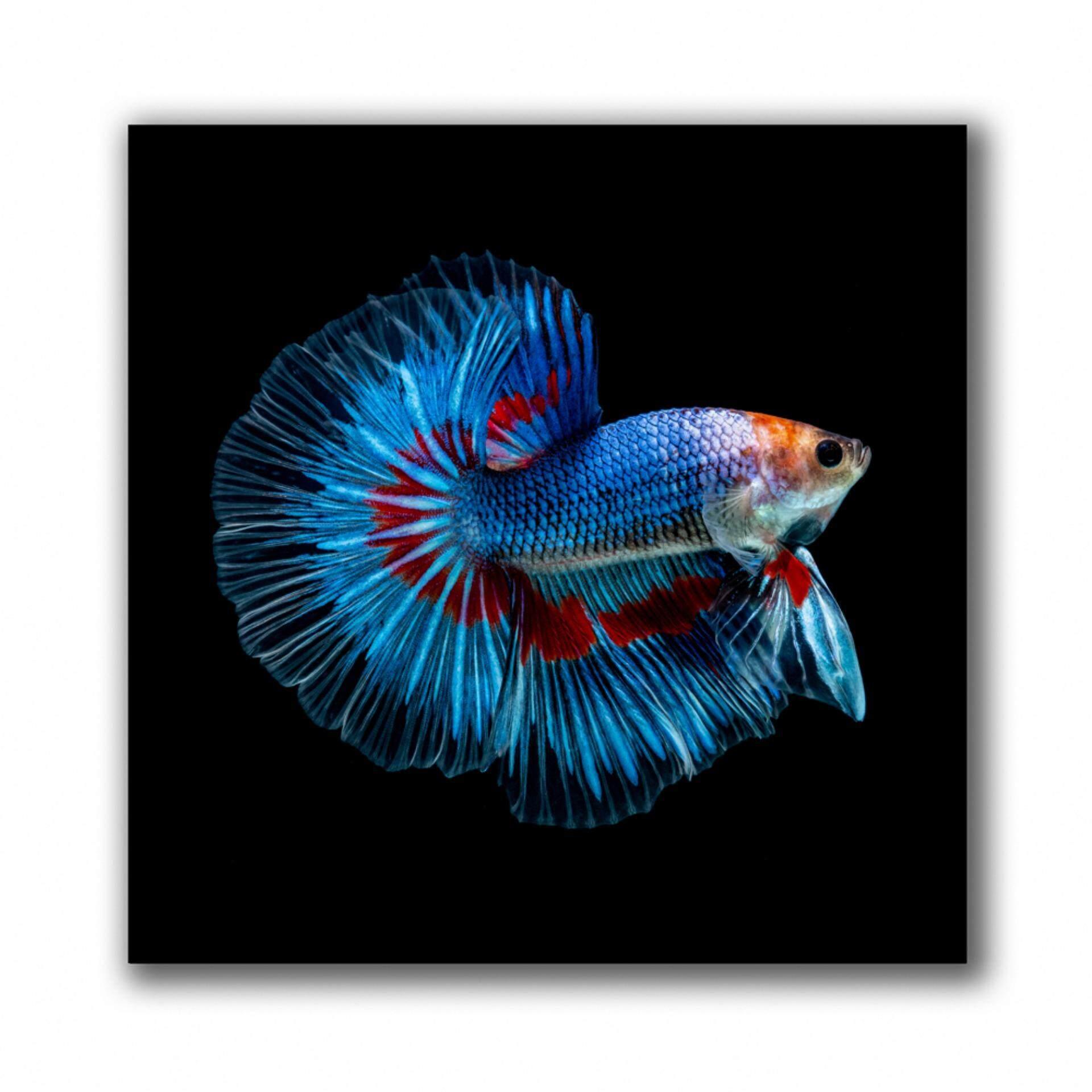 กรอบรูป กรอบลอย ภาพแต่งบ้าน กรอบรูปติดผนัง รูปภาพปลากัดสวยๆ จำนวน 1 ชิ้น.