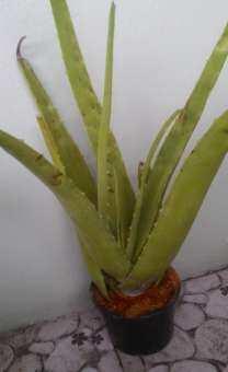 ว่านหางจระเข้ สายพันธุ์ บาร์บาเดนซิส มิล (Aloe barbadensis Mill) ต้นใหญ่ เนื้อวุ่นมาก ปลูกโดยไม่ใช้สารเคมี 100%