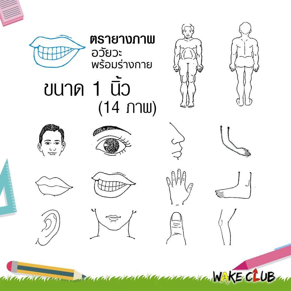 ตรายาง อวัยวะ ขนาด 1 นิ้ว (14 ภาพ) เหมาะสำหรับเด็ก เสริมสร้าง ทักษะ การเรียนรู้.