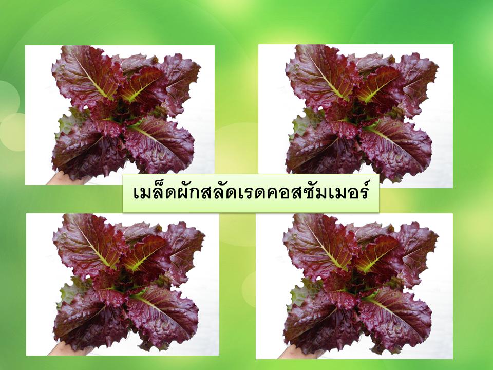 เมล็ดผัก สลัดเรดคอส ซัมเมอร์ 100 เมล็ด [ 10 เเถม 1 คละได้].